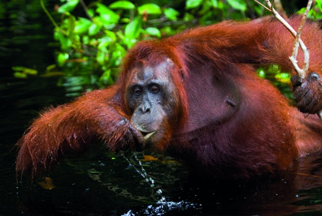 Orangutan drinking water from the river in the jungle. Indonesia